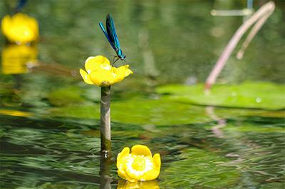 Libelle auf einer Sumpfdotterblume